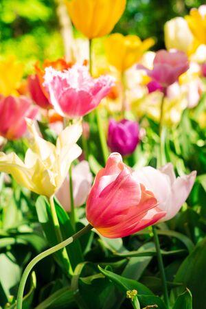 Blooming variety of spring tulips close up Zdjęcie Seryjne
