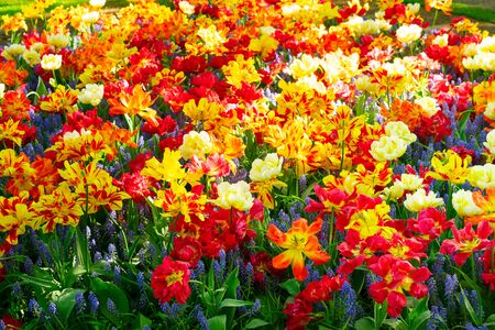 Blooming variety of spring tulips and bluebells natural background