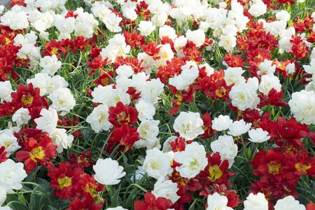 fresh spring lawn with blooming red and white tulips flowers background Zdjęcie Seryjne