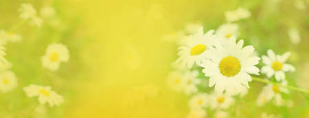 Daisy fresh blooming flowers and green leaves, wide web banner format