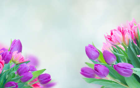 Pink and violet fresh tulip flowers and green leaves on blue background, web banner format with copy space Banque d'images