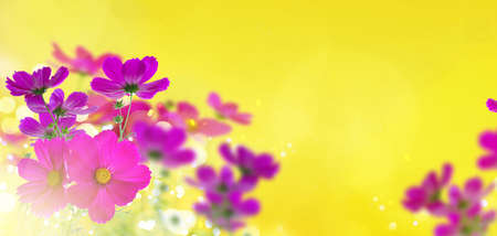 Cosmos fresh dark pink flowers and leaves banner over sunny yellow background