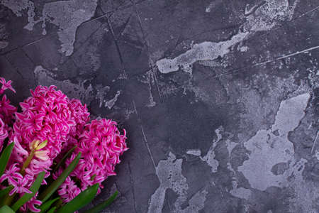 Gardening concept with hyacinth pink fresh flowers on dark gray background, top view with copy space on gray background Banque d'images