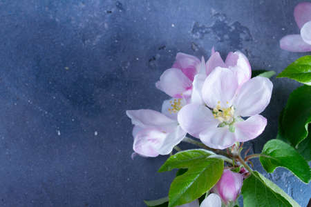 Spring pink apple tree flowers twigs on gray background, low key top view