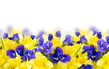 bouquet of daffodil and iris flowers border over white background