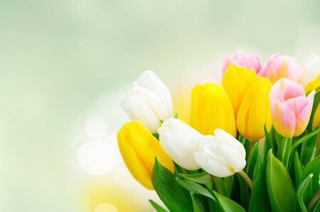 Pink, yellow and white fresh tulip flowers and green leaves over garden bokeh background