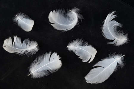 white swan feathers isolated on black background