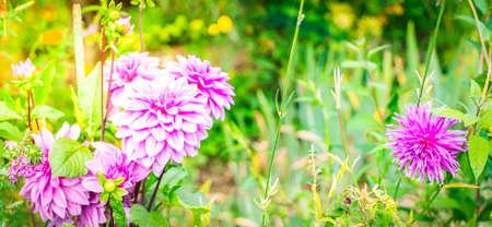 Dahlia light violet flowers in garden, web banner format with sunshine Banque d'images