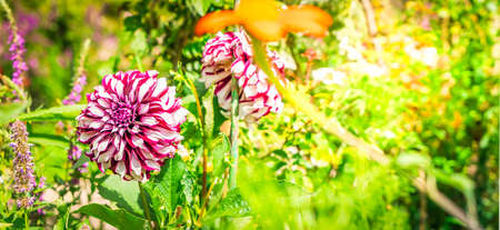 Dahlia violet flowers in garden, web banner format with sunshine