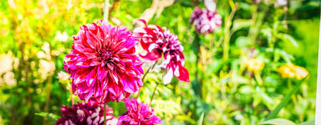 Dahlia dark violet flowers in garden, web banner format with sunshine Banque d'images
