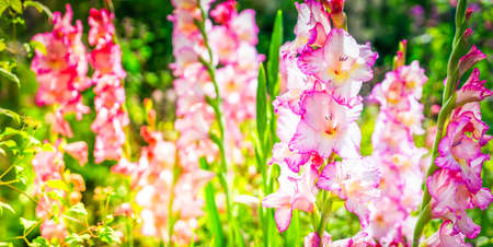 Lilly pink and violet flowers growing in garden with sunshine Banque d'images