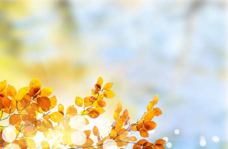 Fresh yellow fall tree foliage on pale cloudy sky background Imagens