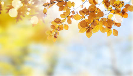 Fresh yellow autumn tree foliage on pale cloudy sky background 免版税图像