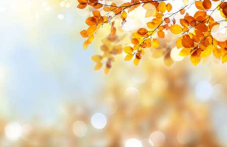 Fresh yellow maple fall tree foliage on pale cloudy sky and blured sky background Banque d'images