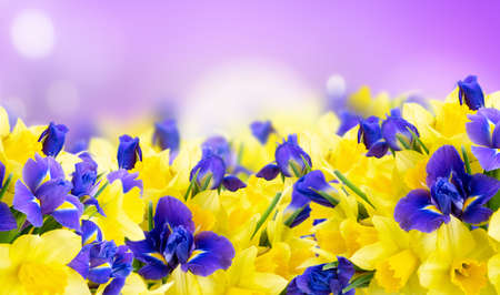 bouquet of daffodil and iris flowers border over bright violet defocused background