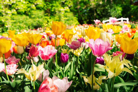 Blooming variety of spring tulips close up Archivio Fotografico