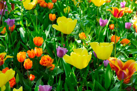 Colorful mix of blooming tulips in garden at spring day Archivio Fotografico