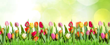 spring green lawn withcolorful tulips rown in spring garden, web banner format Foto de archivo