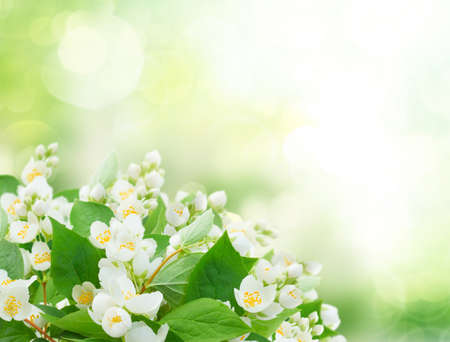 Jasmine flowers and leaves over sunlit garden bokeh background, abstract spring fresh background with copy space Foto de archivo