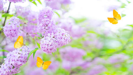 Blooming lilac flowers Standard-Bild