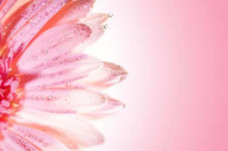 Beautiful rose flower with water drops on petals Stock Photo - 2187026