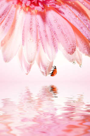Beautiful rose flower with a ladybug on it's petals reflefted in rendered water Stock Photo - 2202320