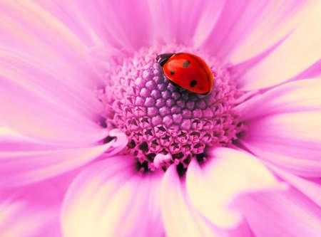 flower ladybug: Small ladybug sleeping on flowers petals