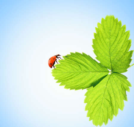Ladybug sitting on a green leaf Stock Photo - 2251106