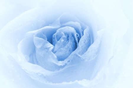 Close-up shot of a rose bud with water drops on petals (toned in blue) photo