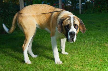 Beautiful St. Bernard dog on a green grass Stock Photo - 2272033
