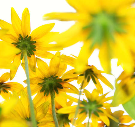 Yellow flowers on white background Stock Photo - 2282308