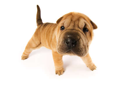 Funny sharpei puppy isolated on white background (studio shot) photo