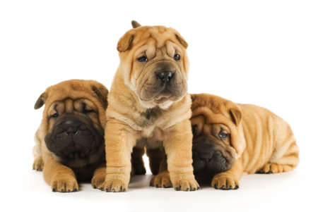 Group of sharpei puppies isolated on white background (studio shot) photo