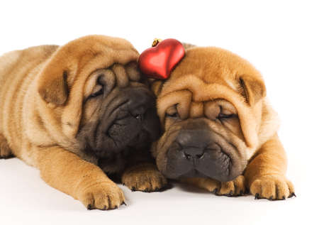 Two sharpei puppies in love