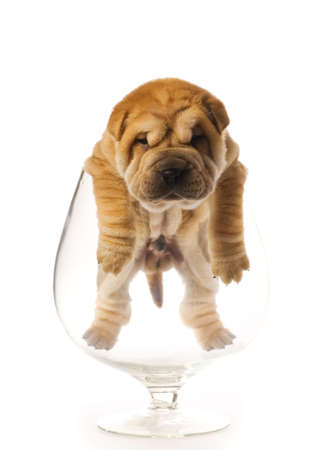 overhang: Sharpei puppy inside glass isolated on white background (studio shot)