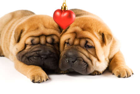 Two sharpei puppies in love Stock Photo - 2470816