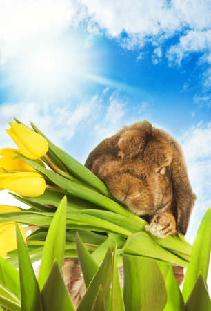 Easter bunny with yellow tulips hiding in green grass photo