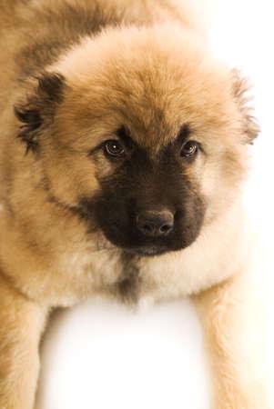 caucasian shepherd: Caucasian shepherd puppy isolated on white background