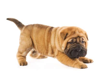 clumsy: Funny cucciolo sharpei isolati su sfondo bianco (girato in studio)
