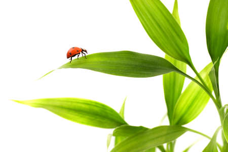 Ladybird sitting on a bamboo leaves photo