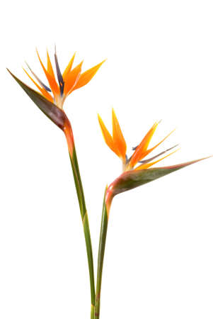 Bird of paradise flower (Strelitzia reginae) isolated on white background Imagens