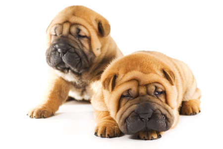 Two sharpei puppies photo