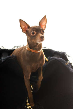 Toy terrier in a luxury bag isolated on white background Stock Photo - 2868688