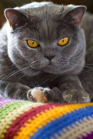 British cat lying on a colorful carpet Stock Photo - 2947317
