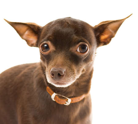 Toy terrier isolated on white background photo