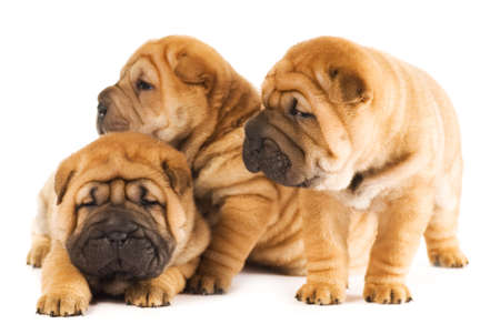 Group of three beautiful sharpei puppies isolated on white background photo