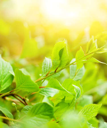 Green leaves at sunny day Stock Photo - 3025277