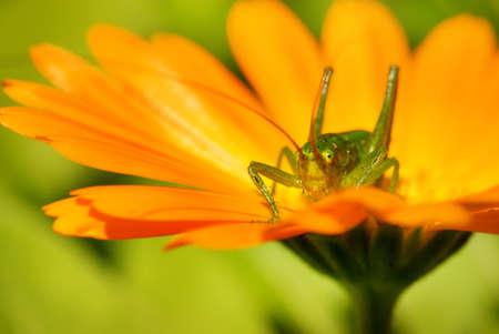 Green grasshopper sitting on a flower Stock Photo - 3294988