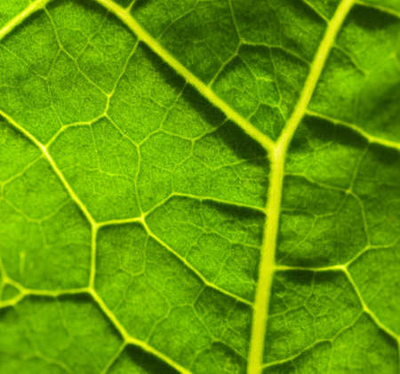 Green leaf texture (shallow DoF) photo
