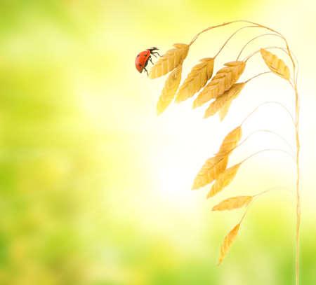 Ladybug sitting on a wheat herb Stock Photo - 3341799